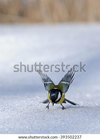 Great tit (Parus major) flapping wings at snowdrift - stock photo