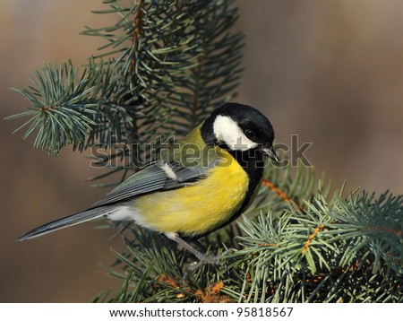Great tit (Parus major) on a fir branch 1. - stock photo