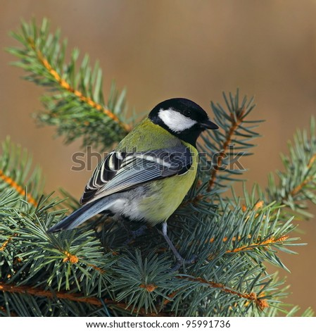 Great tit (Parus major) on a sunny fir branch  1. - stock photo