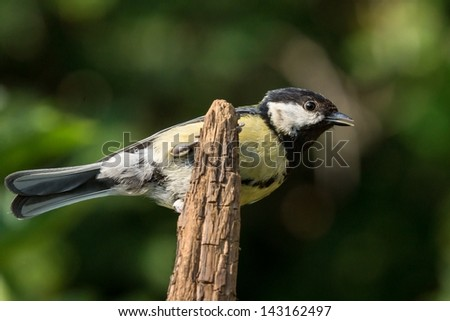 Great tit perched on the tip of a vertical branch - stock photo