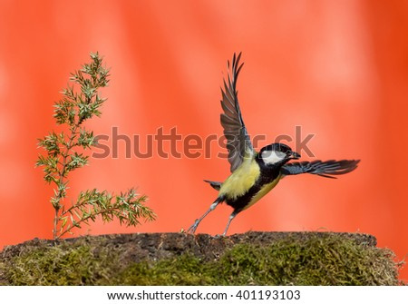 Great tit taking off with food in the beak, clean orange background, Czech Republic, Europe - stock photo