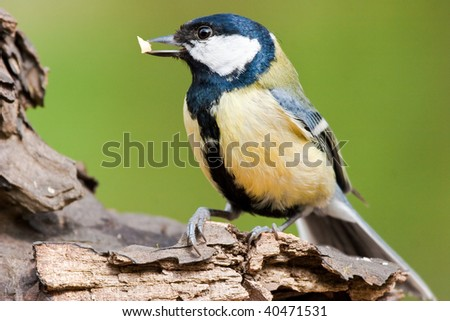 Great Tit with Food in Bill - stock photo