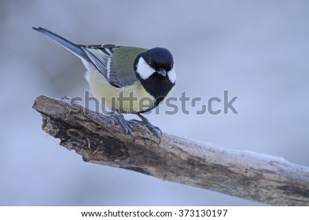 Great titmouse (Parus major) - stock photo