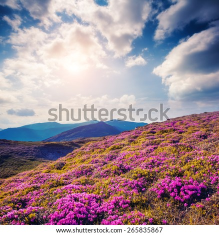Great view of the magic pink rhododendron flowers on the hill. Dramatic unusual scene. White cumulus clouds. National park Chornogora. Carpathian, Ukraine, Europe. Beauty world. Vintage soft filter. - stock photo