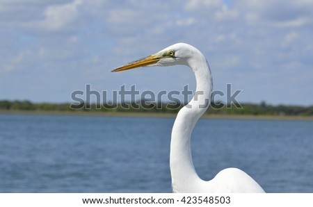 Great White Egret - stock photo