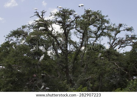 Great White Egret Heron Crane and Baby Birds in a Large Tree - stock photo