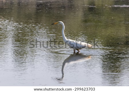 Great white egret hunting on a rural pond - stock photo