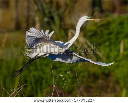 Great white egret in flight at dawn - stock photo