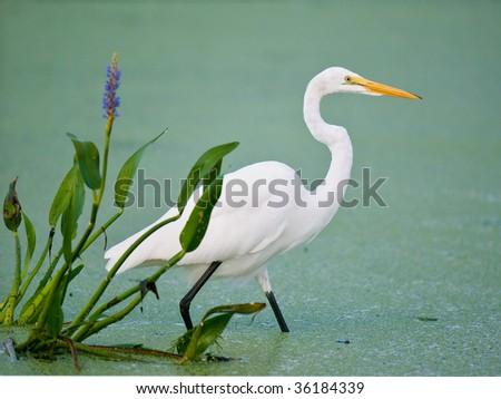 great white egret in florida wetland marsh beside pickerel weed - stock photo