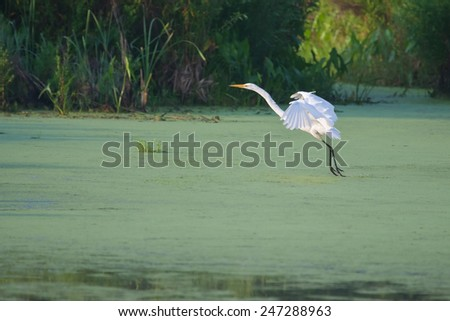 Great White Egret landing in a swamp. - stock photo