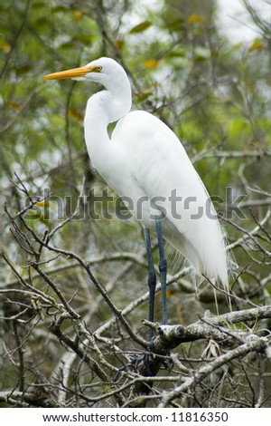 Great White Egret Perched - stock photo