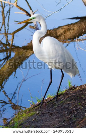 Great White Egret Perched on a downed tree - stock photo