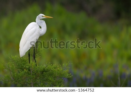 great white egret perches on cypress tree - stock photo