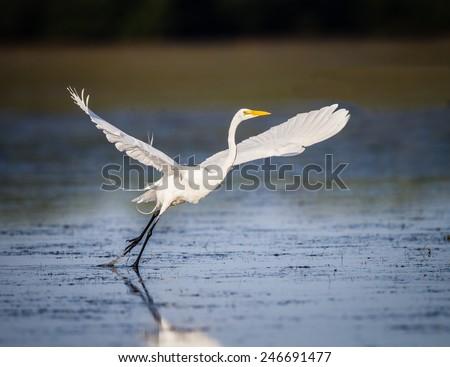 Great white egret taking flight in Florida-Edit - stock photo