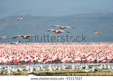 great white pelican flying over lake nakuru - stock photo