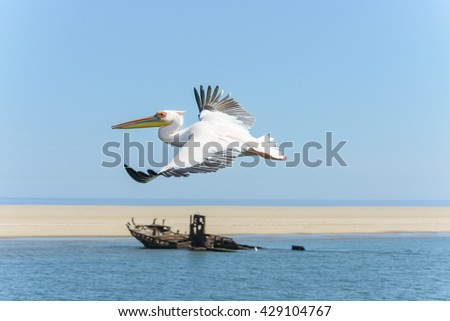 great white pelican in flight - stock photo