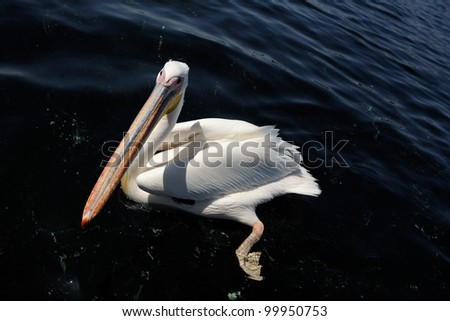 Great White Pelican in water. - stock photo
