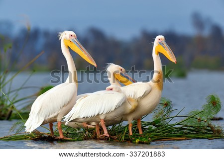 Great white pelican on lake, Kenya, Africa - stock photo