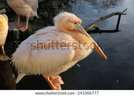 Great White Pelican (Pelecanus Onocrotalus)  - stock photo