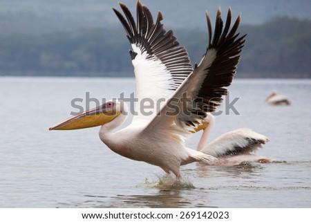 Great white pelican skimming the lake surface in Lake Narasha National Park, Kenya, Africa - stock photo