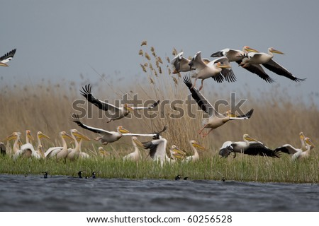 Great White Pelicans (Pelecanus onocrotalus) In The Danube Delta Wildlife Reserve - stock photo