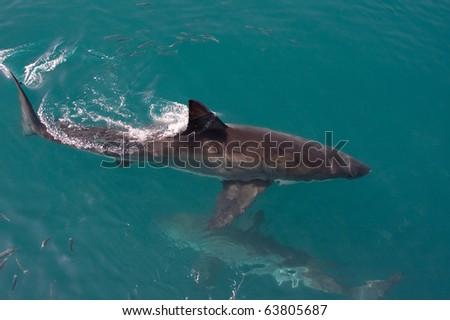 Great white shark. - stock photo