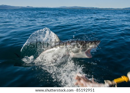 Great white shark breaching, Gansbaai, South Africa - stock photo