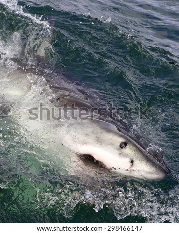 Great white shark breaching on ocean surface in South Africa - stock photo