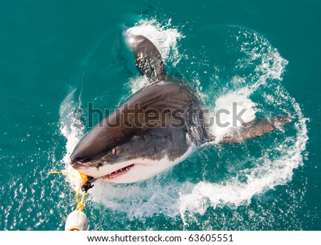 Great White Shark (Carcharodon carcharias). - stock photo