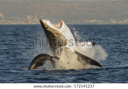 Great White Shark (Carcharodon carcharias) breaching in an attack on seal , South Africa  - stock photo