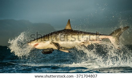 Great White Shark ( Carcharodon carcharias ) breaching in an attack . South Africa - stock photo