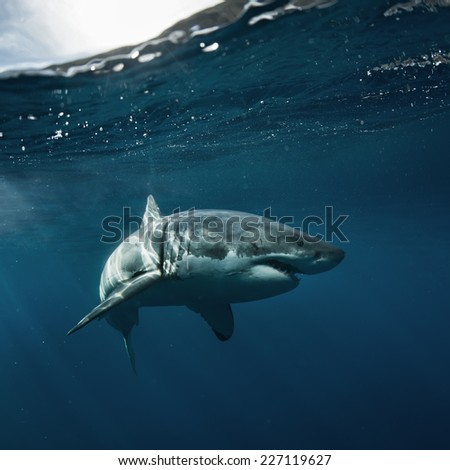 Great White Shark known as carcharodon carcharias - stock photo