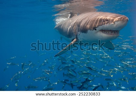 Great White Shark near surface in blue water. - stock photo