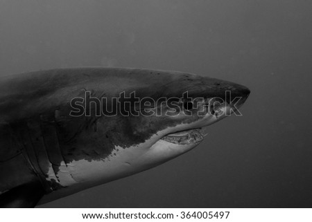 Great white shark, South Africa - stock photo