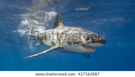 Great white shark swimming just under the surface at Guadalupe Island Mexico - stock photo