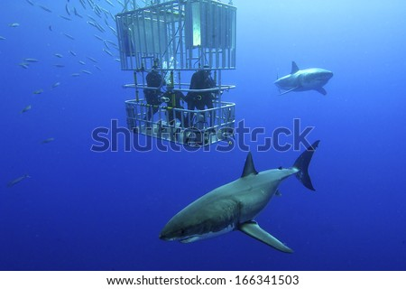 Great white shark swims around the cage - stock photo
