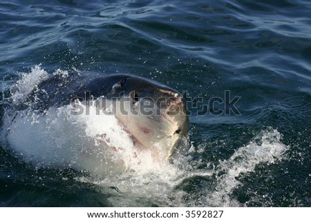 Great White shark taken off the coast of South Africa - stock photo