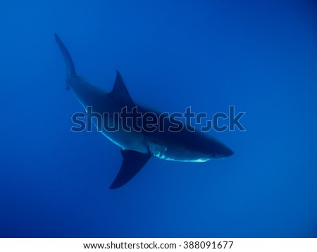 Great white shark under sunlight in the blue Pacific Ocean at Guadalupe Island in Mexico - stock photo