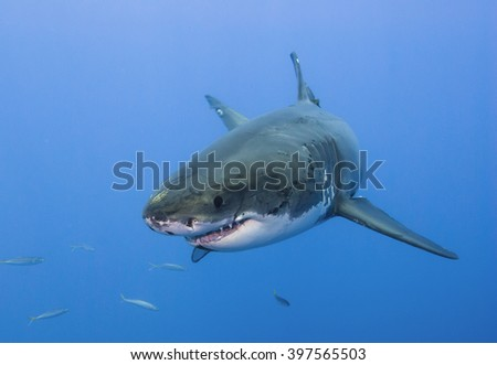 Great white shark very close head-on in clear blue water. - stock photo
