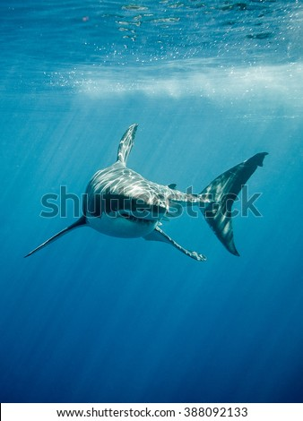 Great white shark with its main four fins swimming under sun rays in the blue Pacific Ocean  at Guadalupe Island in Mexico - stock photo