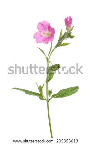 Great Willowherb, Epilobium hirsutum, wild flower and foliage isolated against white - stock photo