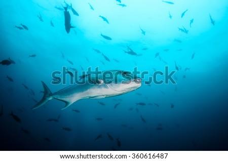 Greater amberjack (Seriola dumerili). Cabo Pulmo National Park, The world's aquarium. Baja California Sur,Mexico.  - stock photo