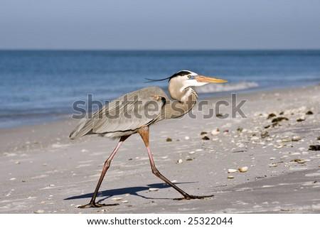 Greater blue heron on coast of island Caya Costa - stock photo