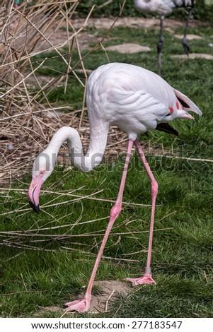 Greater flamingo walking around its habitat - stock photo