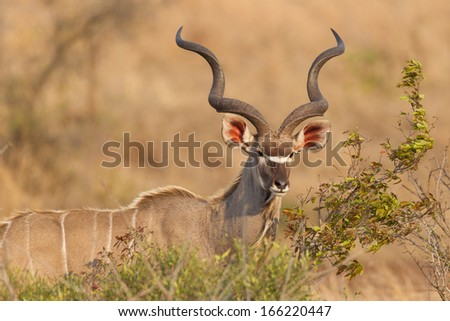 Greater Kudu in Kruger National Park, South Africa - stock photo