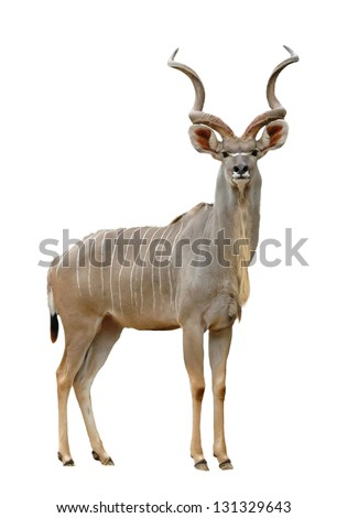 greater kudu isolated on a white background - stock photo