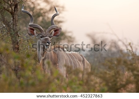 greater kudu, Kruger national park, South Africa - stock photo