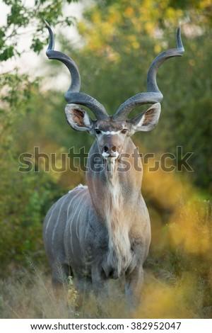 Greater Kudu male standing alert in Khwai Reserve in Botswana - stock photo