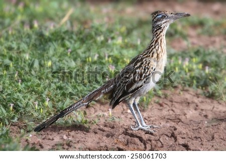 Greater Roadrunner (Geococcyx californianus) in the desert - stock photo