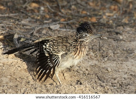 Greater Roadrunner With a Grub in It's Beak - stock photo